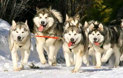 Các tiêu chuẩn chọn chó Alaska đẹp