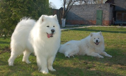 Phối giống chó samoyed