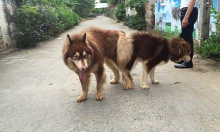 Phương pháp trị chứng biếng ăn ở chó alaska