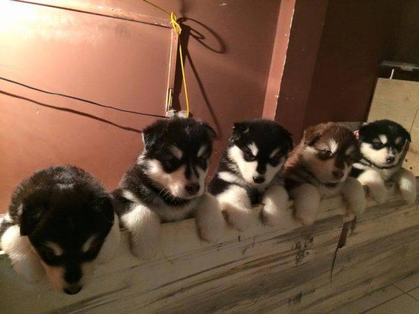Đàn chó con là sản phẩm phối giống chó alaska tại popokennel.com
