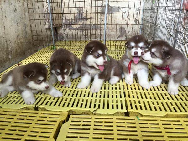 Các tiêu chuẩn xuất chuồng chó con của PôPô Alaska