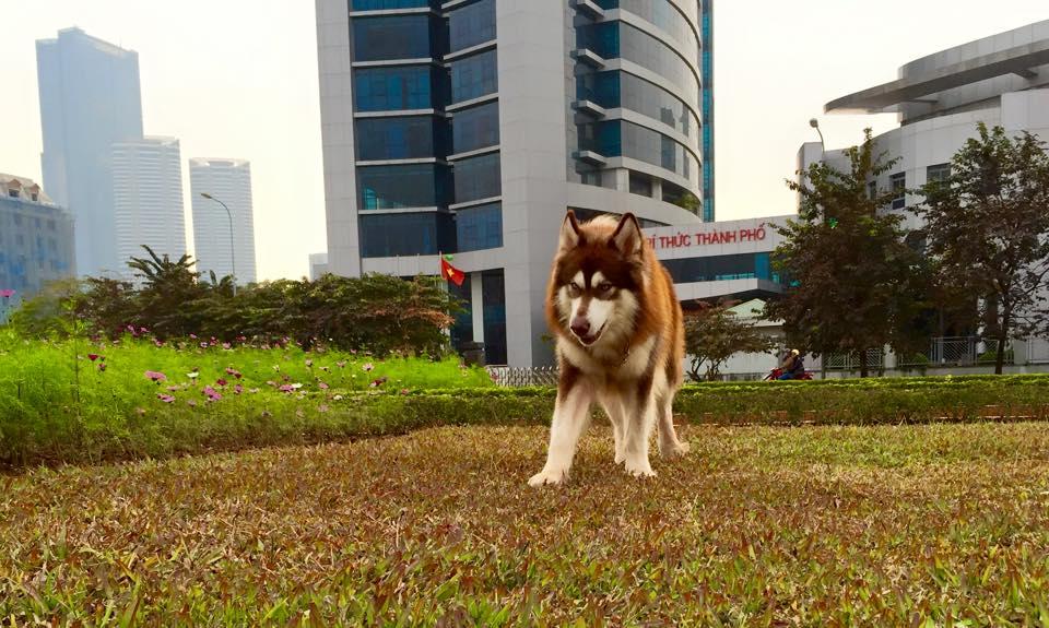 PôPô Alaska chuyên phối giống chó alaska nâu đỏ