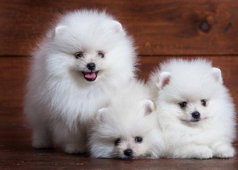 Bảng giá chó phốc sóc và địa chỉ mua bán chó pomeranian