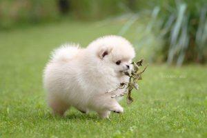 Mùa hè chó phốc sóc thường bị bệnh viêm đường ruột, dạ dày