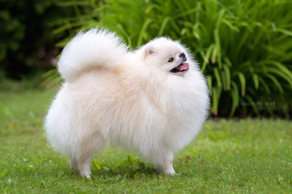 Các bệnh mùa hè của phốc sóc (Pomeranian)