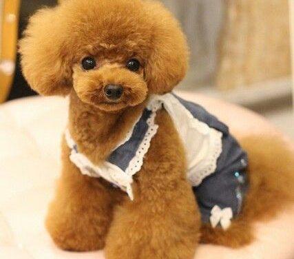 Sự thật và 5 điều thú vị khi nuôi chó poodle