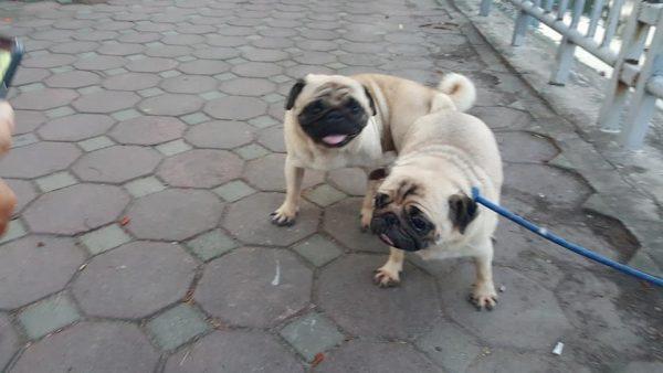 Chuyên phối giống chó poodle, chó pug thuần chủng ở TPHCM.