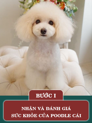 quy-trinh-phoi-giong-cho-poodle1.png