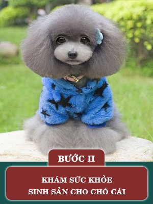 quy-trinh-phoi-giong-cho-poodle2.png