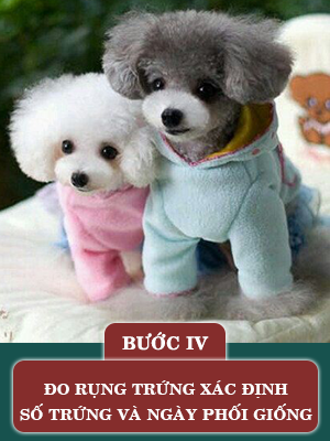 quy-trinh-phoi-giong-cho-poodle4.png