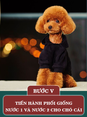 quy-trinh-phoi-giong-cho-poodle5.png