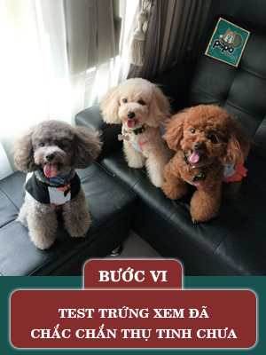 quy-trinh-phoi-giong-cho-poodle6.png